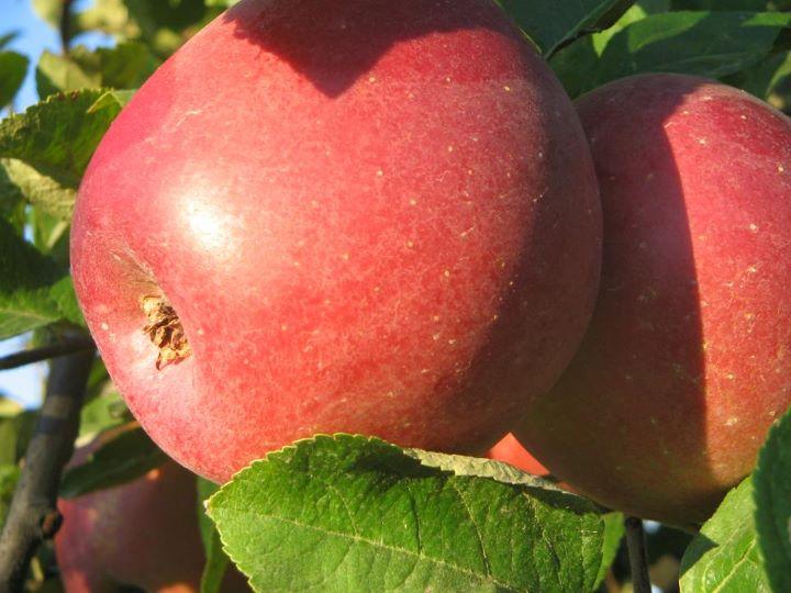 jabuke 2